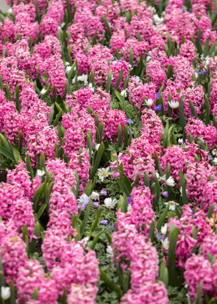 red, hyacinths, flowers, blooming, in, a - 28237838