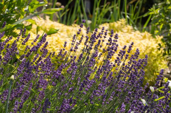 , the, flourishing, lavender, , in - 28238625