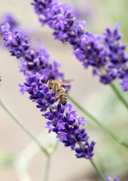 , the, flourishing, lavender, , in - 28238769