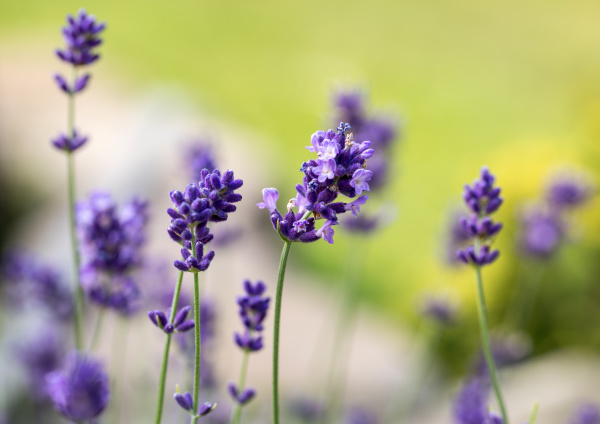 , the, flourishing, lavender, , in - 28238907