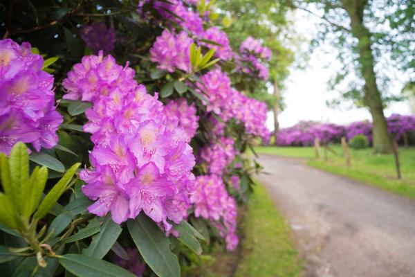 blooming, azalea - 28238723
