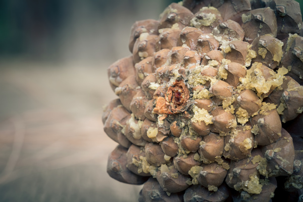 brown, pine, cone, with, resin - 28238534