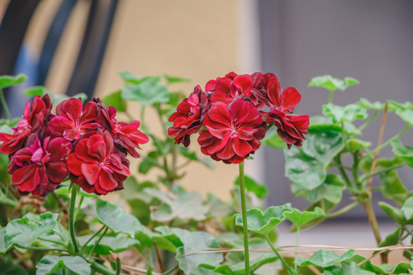 closeup, of, beautiful, geranium, red, on - 28238268