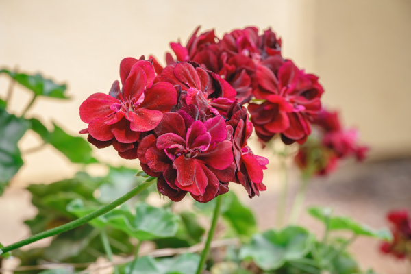closeup, of, beautiful, geranium, red, on - 28238298