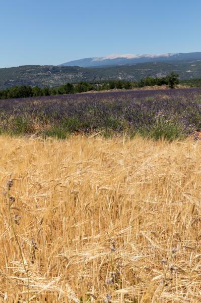 cornfield, and, lavender, fields, near, sault - 28238831