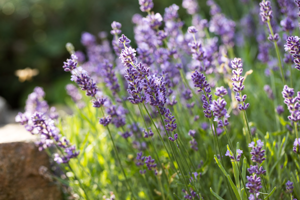 lavender, field, in, provence, , near, sault, - 28238563