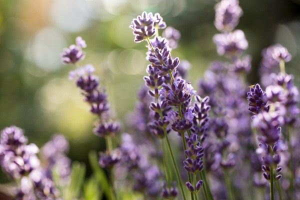 lavender, field, in, provence, , near, sault, - 28238596