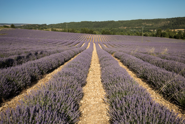 lavender, field, in, provence, , near, sault, - 28238644