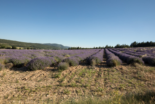 lavender, field, in, provence, , near, sault, - 28238817