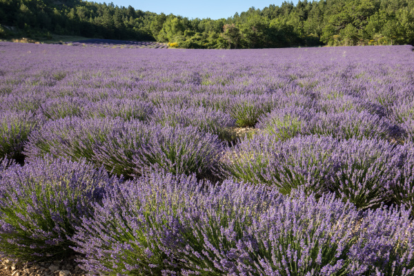 lavender, field, in, provence, , near, sault, - 28238990