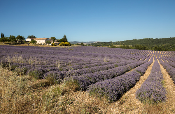 lavender, field, in, provence, , near, sault, - 28238993