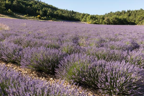 lavender, field, in, provence, , near - 28238601