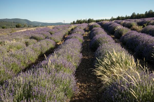 lavender, field, in, provence, , near - 28238629