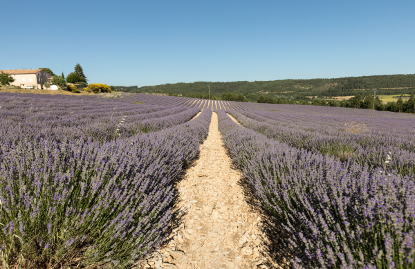 lavender, field, in, provence, , near - 28238773
