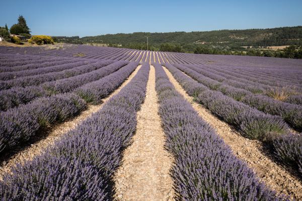 lavender, field, in, provence, , near - 28238775