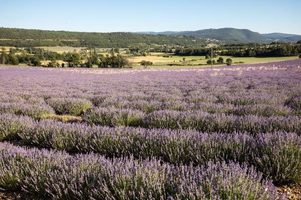 lavender, field, in, provence, , near - 28238812