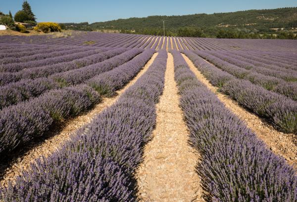 lavender, field, in, provence, , near - 28238813