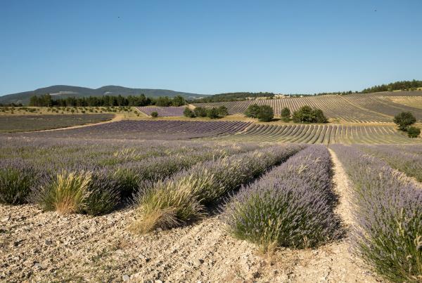 lavender, field, in, provence, , near - 28238855