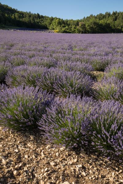 lavender, field, in, provence, , near - 28238992