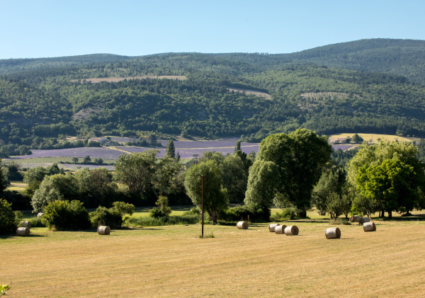 lavender, field, near, sault, in, provence - 28238204
