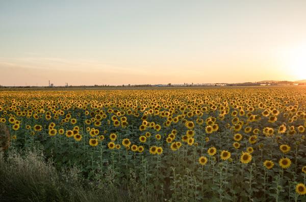 sunflowers, field, near, arles, , in - 28238547