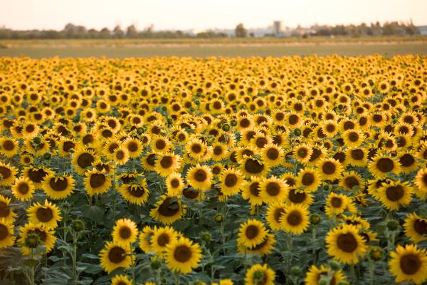 sunflowers, field, near, arles, , in - 28238579