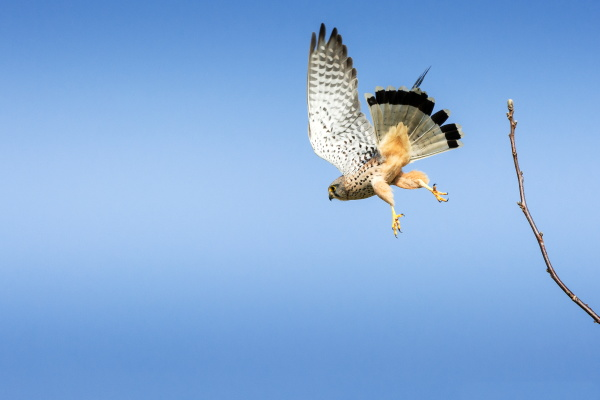 the, kestrel, is, looking, for, a - 28238020