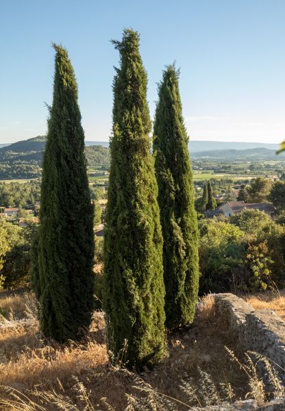 three, cypresses, in, , in, saint - 28238906