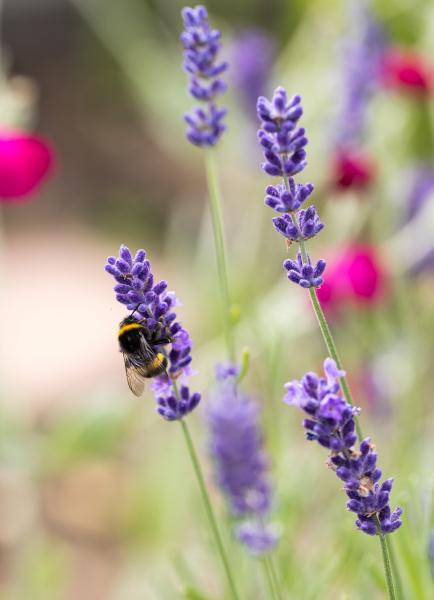 , the, flourishing, lavender, , in - 28239265