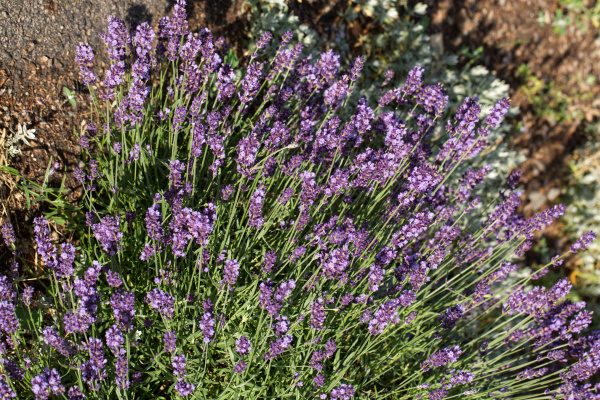 , the, flourishing, lavender, , in - 28239299