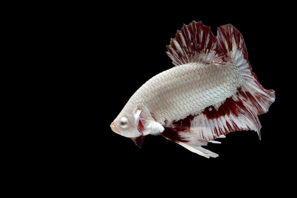 aggressive, fighting, fish, on, black, background. - 28239642