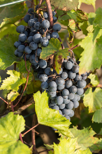 bunch, of, red, grapes, on, the - 28239155