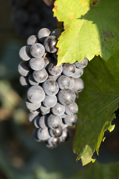 bunch, of, red, grapes, on, the - 28239206