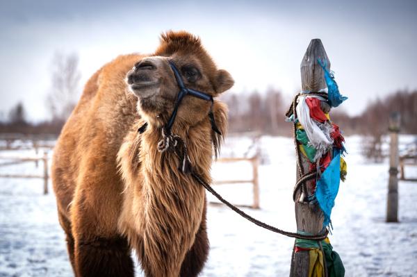 camel, male, in, siberia - 28239615