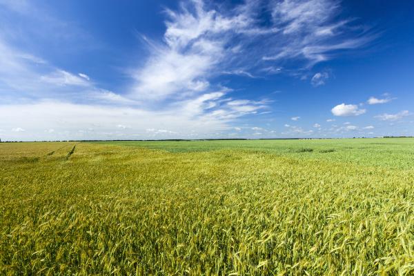 green, unripe, cereals - 28239481