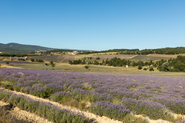 lavender, field, in, provence, , near - 28239023