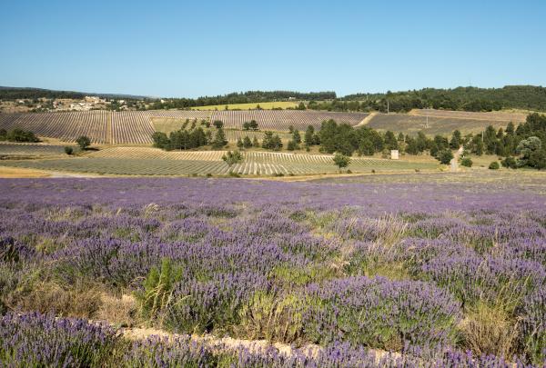 lavender, field, in, provence, , near - 28239414