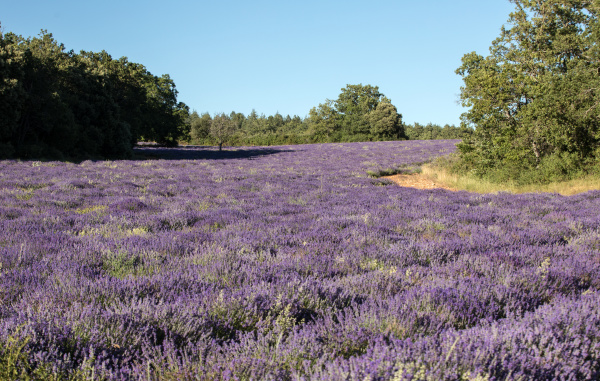 lavender, field, near, sault, in, provence - 28239335