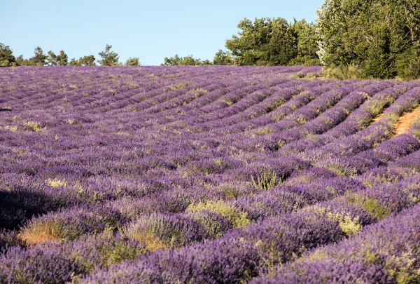 lavender, field, near, sault, in, provence - 28239374