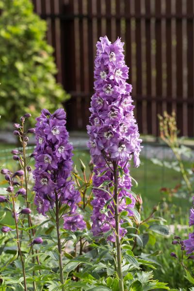 purple, delphinium, flower, in, garden, - 28239193