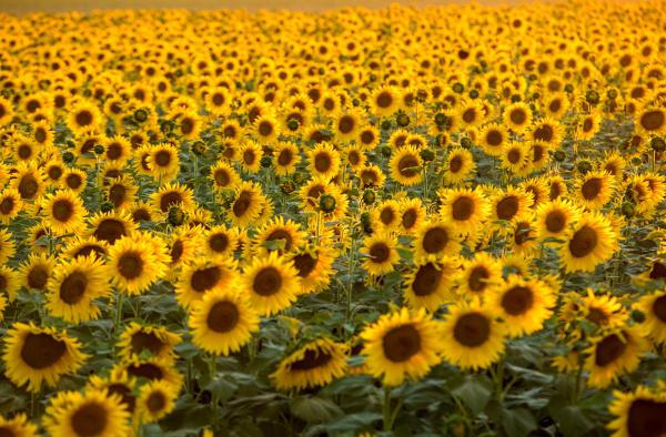 sunflowers, field, near, arles, , in - 28239294