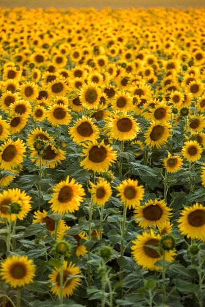 sunflowers, field, near, arles, , in - 28239295
