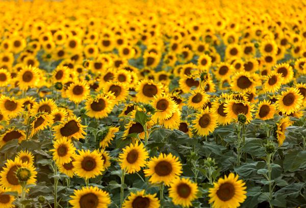 sunflowers, field, near, arles, , in - 28239296