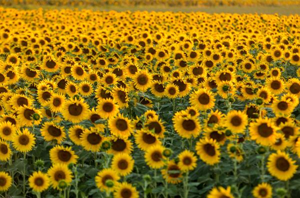 sunflowers, field, near, arles, , in - 28239297