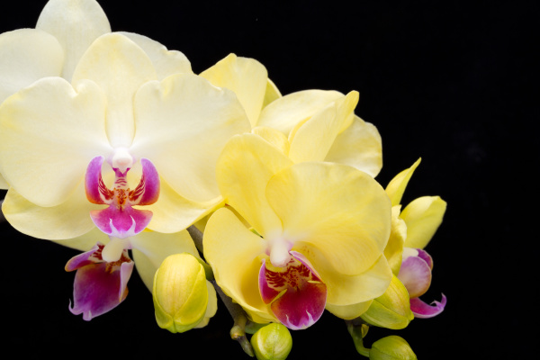 yellow, orchid, isolated, on, black, - 28239227