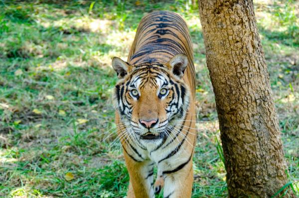 tiger lookin upwards beside a tree