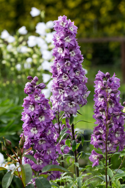 purple, delphinium, flower, in, garden, - 28240322