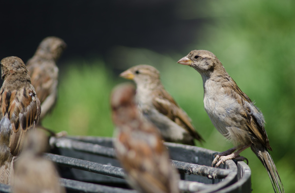 house sparrow in the arm square