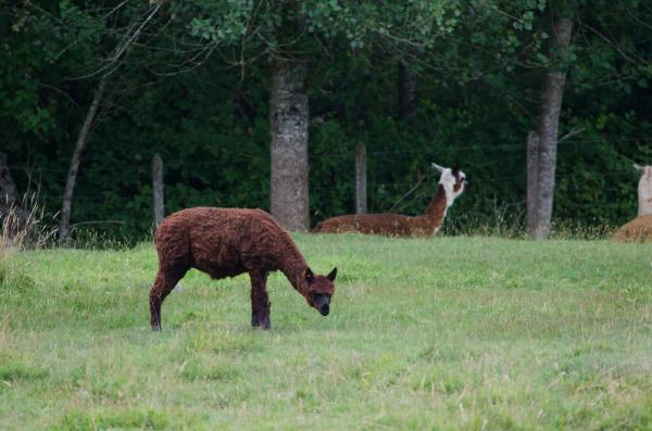 alpaca vicugna pacos eating in a