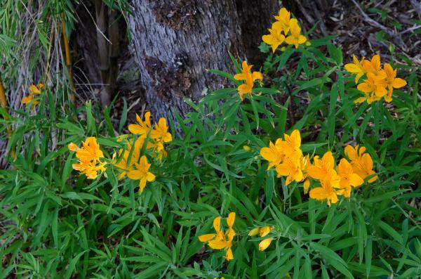 peruvian lilies alstroemeria aurea in flower
